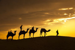 Desert local walks with camel through Thar Desert Royalty Free Stock Photography