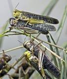 Desert locust 2 Stock Image