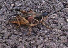 Desert locust on black asphalt stock photo