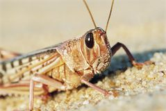 Desert Locust. close up Royalty Free Stock Images