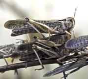Desert locust 3 Stock Image