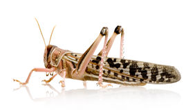 Desert locust - Schistocerca gregaria Royalty Free Stock Photo