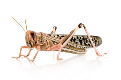 Desert locust - Schistocerca gregaria Stock Photo