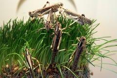 Desert locust Stock Photography