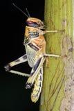 Desert Locust (Schistocerca Gregaria) Stock Image