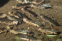 Desert locust (Schistocerca gregaria). Stock Image