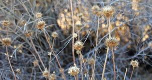 Desert Lollipop. Joshua Tree, California - Wild Life Royalty Free Stock Images