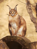 Desert lynx - Caracal caracal - siting on the stone Royalty Free Stock Photography