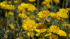 Desert Marigold stock video footage