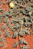 Desert melon,Western Australia Royalty Free Stock Photography