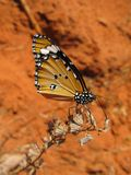 Desert Monarch Butterfly. Monarch Butterfly perched in the Red Canon, Mui Ne Vietnam. A contrast between beautiful creatures and desolate lands royalty free stock photography