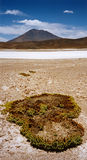 Desert moss Salar de Uyuni Stock Photo