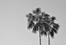 Desert Mountain Palms. Two palm trees swaying gently in the spring time desert breeze all in black and white stock photography
