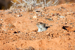 Desert mouse. Mouse hiding in his hole in the desert Royalty Free Stock Images