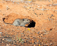 Desert mouse stock image