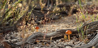 Desert Mushroom Royalty Free Stock Photography