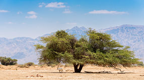 Desert nature reserve park near Eilat, Israel Royalty Free Stock Image