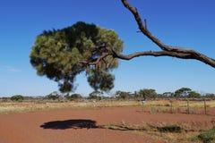 Desert oak Royalty Free Stock Images