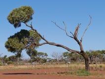 Desert oak Royalty Free Stock Photos