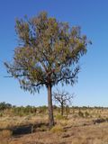 Desert oak in  the outback of Australia Stock Image