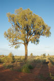 Desert oak tree Stock Image