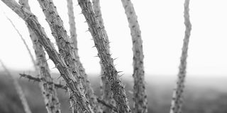 Desert ocotillo Stock Images