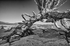 Desert ocotillo. Plant in Anza Borrego State Park royalty free stock images