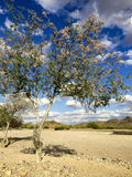 Desert Orchid Tree, Salome, AZ Stock Images