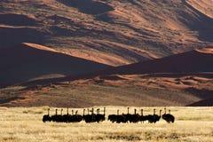 Desert ostriches stock photos