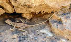 Desert Pale Agama - Trapelus  mutabilis, Judean Desert, Israel. Sandy grey Desert Agama camouflaged in Azgad Canyon and Ashalim river of Dead Sea Valley in Stock Photos