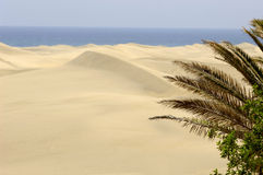 desert palm Obraz Stock