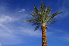 Desert palm tree Stock Photos
