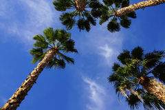 Desert palm tree Royalty Free Stock Photo