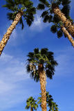 Desert palm tree Royalty Free Stock Images