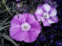 Desert petunia. This is beautifull flower. This flower colour combination Violet blue and white Royalty Free Stock Photography