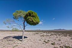 Desert pine tree Stock Photography