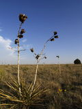 Desert plant. A desert plant in New Mexico, US Royalty Free Stock Photography