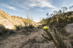 Desert Plant in Anza-Borrego State Park, California Royalty Free Stock Image