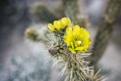 Desert Plant in Anza-Borrego State Park, California Stock Photography