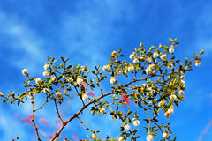 Desert plant in bloom. The white unknown desert tree is in bloom Stock Photo