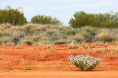 Desert plant. Blooming purple in the desert Stock Image