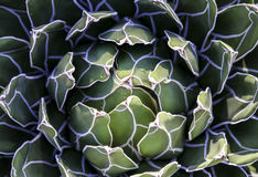 Desert plant close up macro Royalty Free Stock Image
