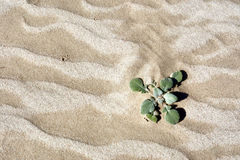 Desert plant on dune Stock Photo