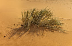 Desert plant. In Erg Chebby dunes, Merzouga, Morocco Royalty Free Stock Photography