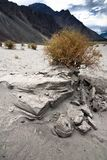 Desert plant at Nubra Valley sand dunes. India Royalty Free Stock Photo