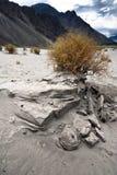 Desert plant at Nubra Valley sand dunes. India Royalty Free Stock Photo