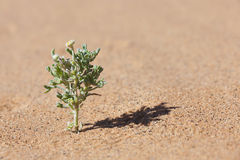 Desert plant in sand with tiny yellow flower. Stock Images