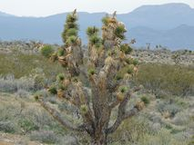 Desert plant of the Soutwestern United States. Plant growing in the Southwestern United States desert during the day Royalty Free Stock Images
