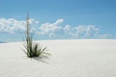 Desert plant in white sand dunes. National park royalty free stock photography