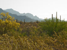 Desert plants with layers of mountains Stock Photos